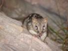 Marble Point Northern Quoll