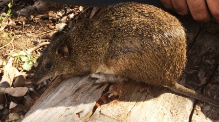 004-southern-brown-bandicoot-on-release-in-mundy-regional-park-360-environmental